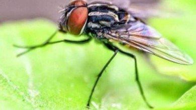 Photo of هل ينقل الذباب فيروس كورونا؟ الصحة العالمية تٌوضّح