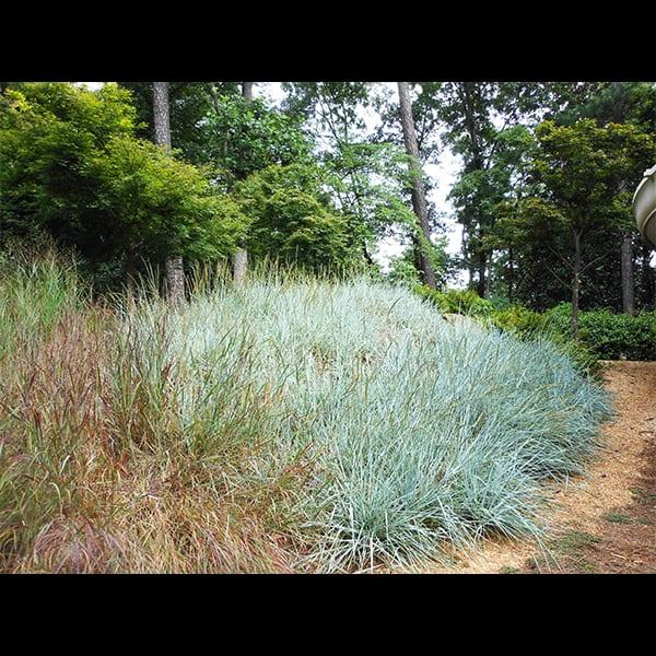 Blue Dune Grass