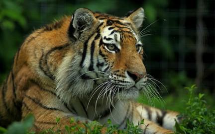 Ecologiablog_tigre