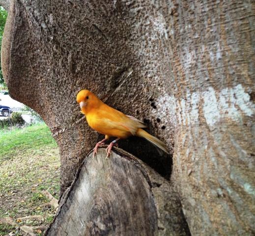 Ya posado sobre el árbol sabe que jamás volverá a una jaula, ahora es libre