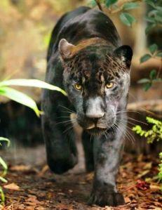 Aramis, el imponente jaguar,foto F.Grandin/MNHN