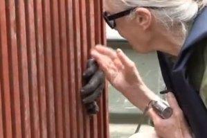 Jane Goodall y su emotiva despedida de chimpancé al volver a la selva