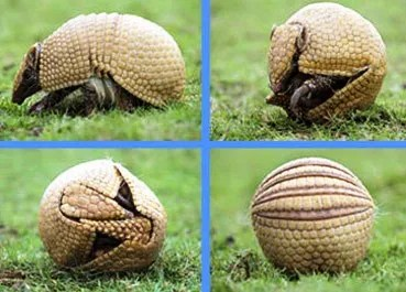El armadillo bola está en riesgo de extinción