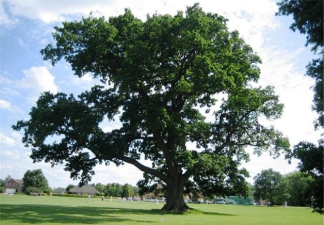 Ickwell Oak, Bedfordshire Foto: Woodland Trust