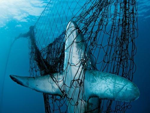 Pesca indiscriminada de tiburones