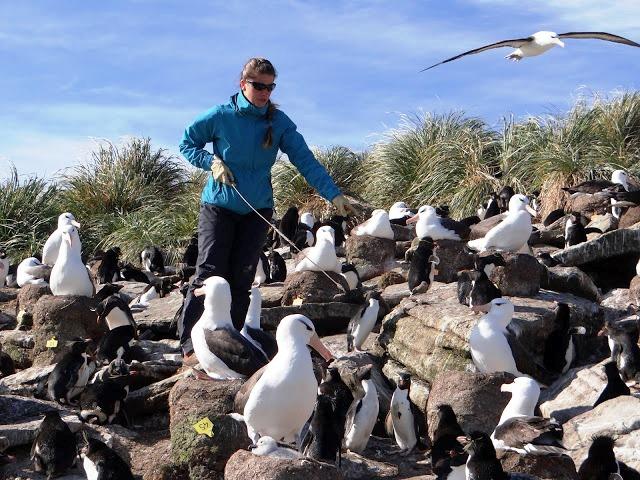 Deborah es una bióloga francesa que realizó su doctorado en biología de las poblaciones trabajando con aves interesantísimas: Los albatros (Thalassarche sp)