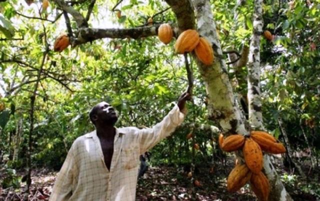 Cacao en Costa de Marfil