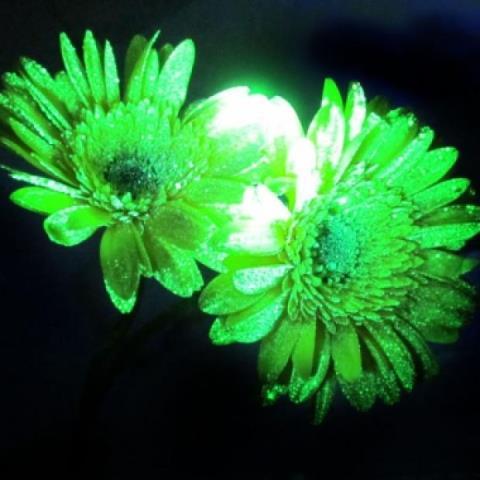 Flores fluorescentes
