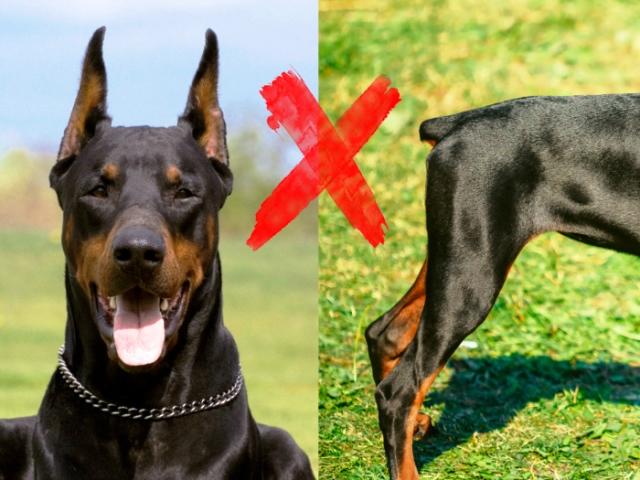 Prohiben cortar colas orejas perros. Foto: www.euroresidentes.com