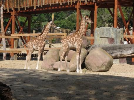 Masai y Kenia, crías de jirafa