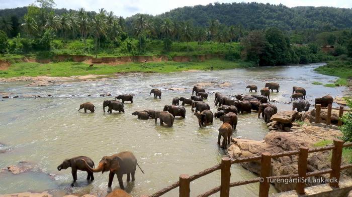 Pinnawala Elephant Orphanage - Elefanter bader i floden Maha Oya