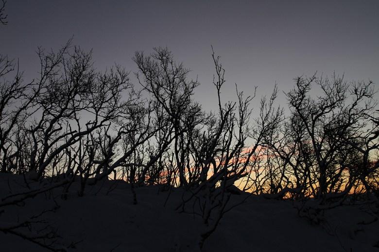 Finnmarksbjørka er ikke høy ved tregrensa