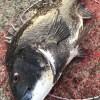 コロコロドスンのストラクチャーで刈り上げ釣法とハングヘチ。ボチボチな朝練釣行でした
