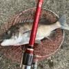 Team BJ 撮影 爆釣!!黒鯛ヘチ釣りin尼崎フェニックス( 尼P)落とし込みはリズムとメンタルの釣り