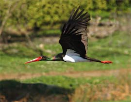 Cigüena-negra Arribes del Duero