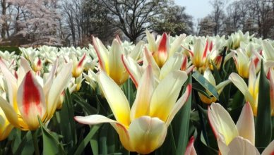 Conhecendo o parque das tulipas de Keukenhof