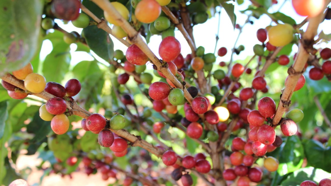 Rota do Café: uma experiência surpreendente na Fazenda Palmeira.