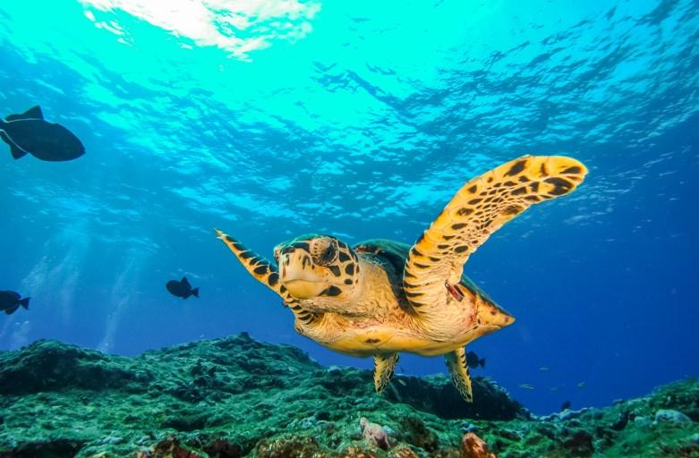 Tartaruga de Pente (Eretmochelys imbricata)