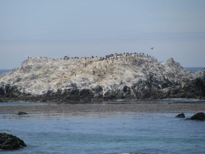 Monterey - 17 mile drive birds