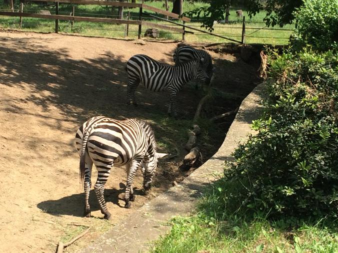 Nyiregyhaza Zoo - zebra
