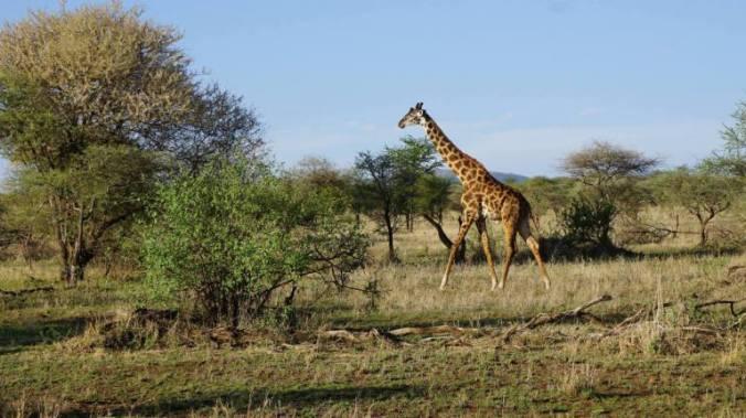 Serengeti - girafa