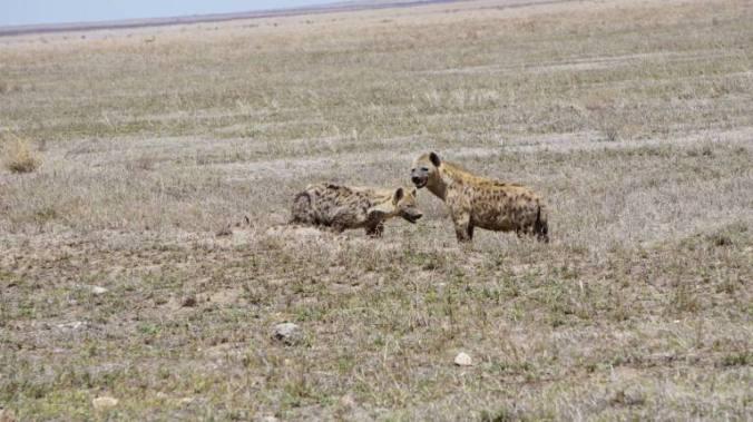 Serengeti - hiena