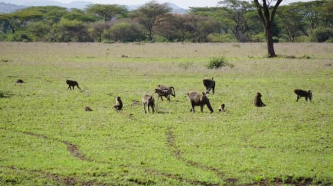Serengeti - monkeys
