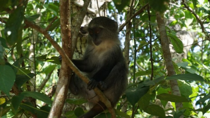 Zanzibar - jozani forest monkeys