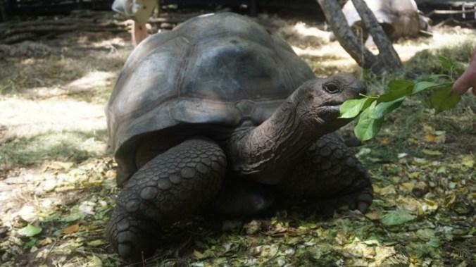 Zanzibar - prison island turtle