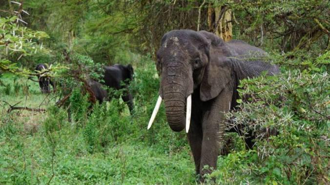 ngorongoro - elephant