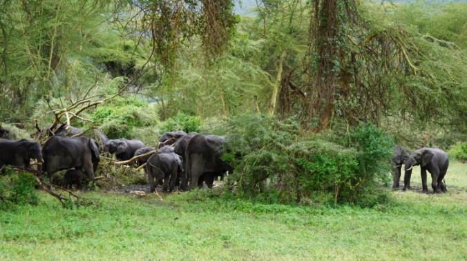 ngorongoro - elephants