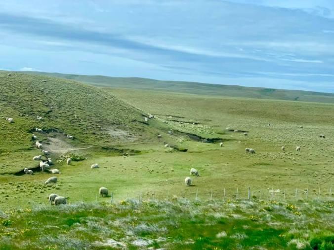 Patagonia -sheeps