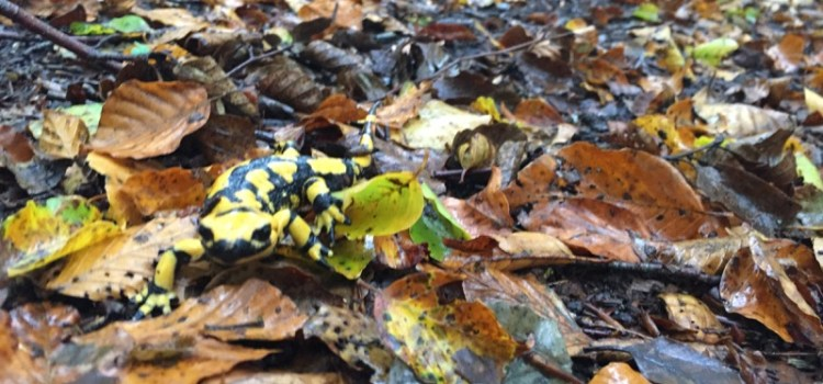 La giornata della salamandra – storie da un bosco della Basilicata