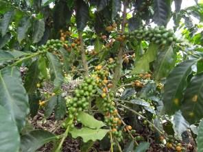 16 Kolumbija kafija (3)