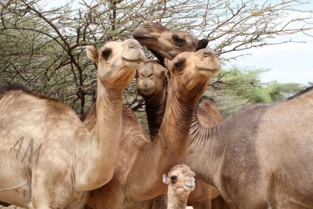 Camels arch their long necks as they watch, with trepidation and some curiosity, the students who've come to see them.