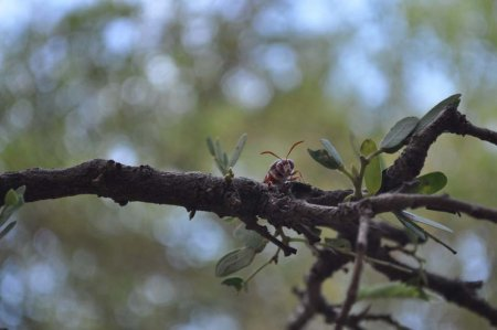 A wasp sits on a Tamarind tree branch as evening approaches.