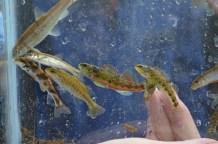Fish of Turkey Creek (endangered Vermillion Darter pictured center)
