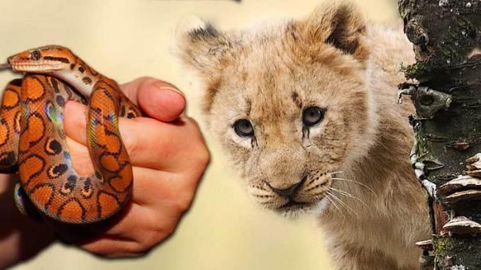 Python-käärme & leijonapenttu