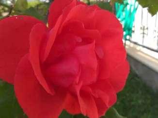 Ruusu Turkissa
