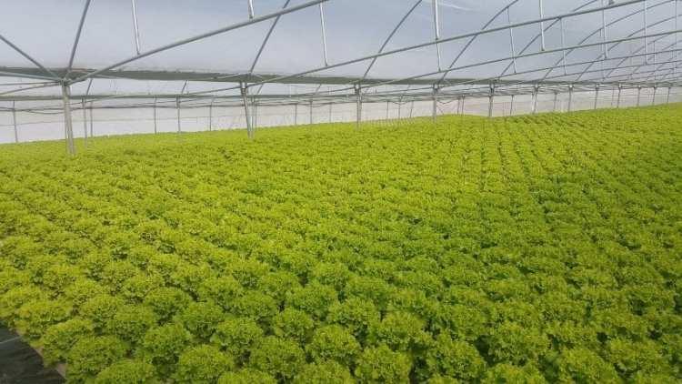 Выращивание пелецика Беспочвенное выращивание