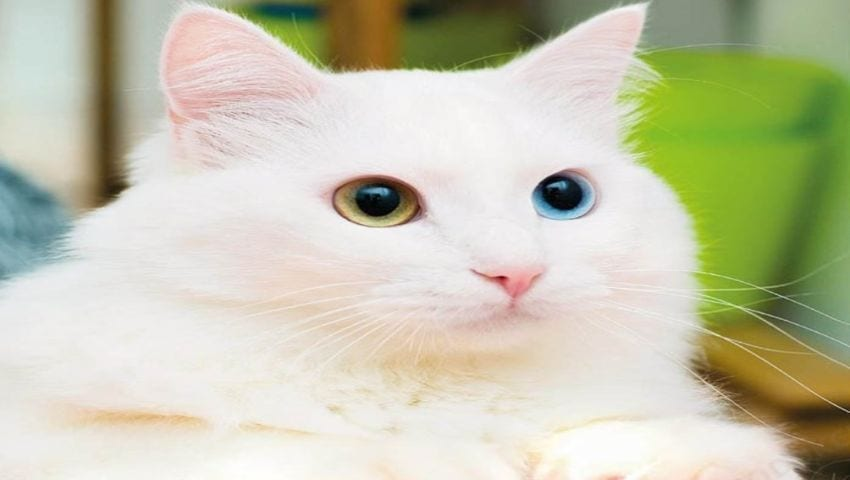Turkish van cat character