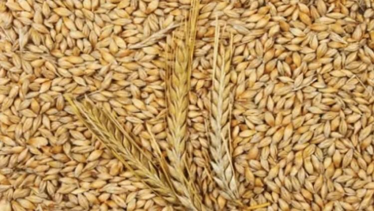 زراعة الشعير في تركيا