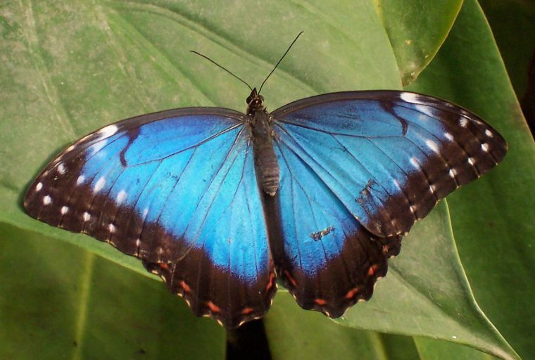 Tropical_butterfly