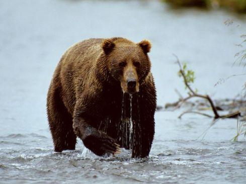 http://animals.nationalgeographic.com/animals/photos/bears/#/alaska-bear-hunt_4171_600x450.jpg