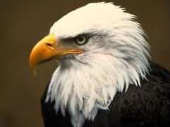 http://animals.nationalgeographic.com/animals/birds/bald-eagle/?source=A-to-Z