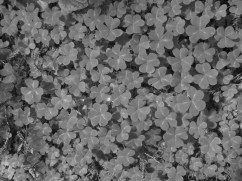Clovers in black and white