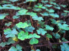 Clovers in the Redwoods