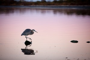 A great blue heron fishing at sunrise