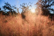 Muhly grass highlighted by sun at the Marriott Grand Hotel in Point Clear, Ala.