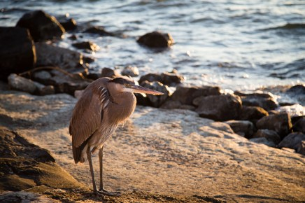 A great blue heron stands by the shore of Mobile Bay in Point Clear, Alabama